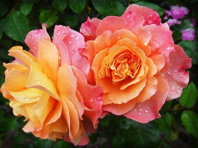 rozkvetlé růže